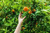 Orange Garden With Rows Of Orange Trees, Flowering Orange Trees And A Harvest Of Sweet Juicy Oranges poster