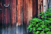 Stinging Nettle Growing By The Weathered Wooden Door. poster