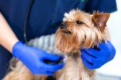 Professional Vet Doctor Examines A Small Dog Breed Yorkshire Terrier Using A Stethoscope. A Young Ma poster