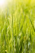 Spike Of Barley On A Cereal Field With A Sunbeam And A Flare, Vertical. Green Bright Sunny Ripe Ears poster