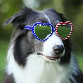 Border collie dog wearing heart shaped American flag sunglasses for 4th of July poster