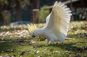 Australian Sulphur-crested Cockatoo Standing On The Ground With Its White Wings In Full Wingspan And poster