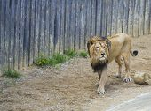 Adult Male Asiatic Lion, Panthera Leo Persica, Walking In His Paddoc, Concrete Wall Background. The  poster