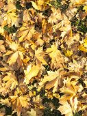 Old, Faded, Fallen Autumn Leaves On Grass poster