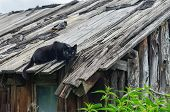Hunting Black Farm Cat On The Falling Timber Roof Of An Aged Barn With Dense Growth Of Stinging Nett poster