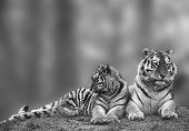 stock photo of tigress  - Beautiful tigress relaxing on grassy hill with cub in monochrome - JPG