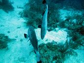 pic of swim meet  - Two grouper meet while swimming over Silk Caye reef in Belize - JPG