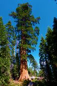 Sequoia Tree Surrounded By An Evergreen Forest And An Alpine Meadow Taken In The Rural Sierra Nevada poster