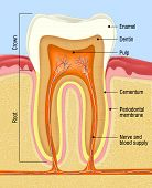 image of cavities  - medical cross section of the human teeth - JPG