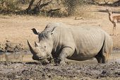 stock photo of wallow  - Male White Rhino  - JPG