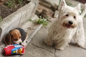 stock photo of westie  - Small beagle puppy two month old dog and Westy - JPG