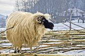 Purebred Domestic Fleecy Sheep In The Snow poster