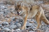 stock photo of coyote  - a young coyote strolling through  death valley - JPG