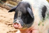 picture of pot bellied pig  - pig - JPG