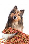 stock photo of sheltie  - Cute little Sheltie or Shetland Sheepdog looking puzzled into the camera with overflowing dogfood in a bowl - JPG