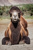 stock photo of jammu kashmir  - Bactrian camels in Himalayas - JPG