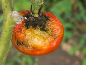 stock photo of household farm  - Disease of tomato fruit on stem in garden - JPG