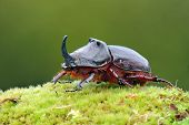 stock photo of oryctes  - European rhinoceros beetle in the wild  - JPG