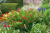 picture of english cottage garden  - Flower bed with red crocosmia flowers in a garden.