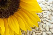 foto of sunflower-seed  - close - JPG