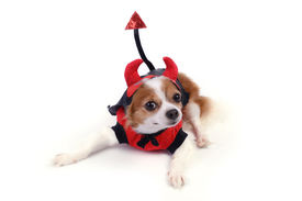stock photo of chiwawa  - Chiwawa in devil suit for halloween night - JPG