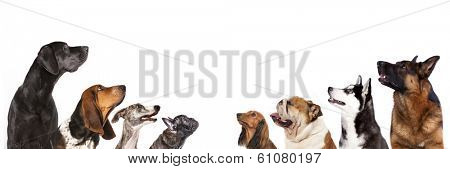 group of dogs is looking up, portrait in profile poster