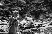 stock photo of cave-dweller  - A monkey eats a wafer at the Batu Caves in Kuala Lumpur Malaysia - JPG