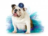 female bulldog wearing a tutu