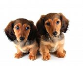 stock photo of puppies mother dog  - Longhair dachshund puppy and mother - JPG
