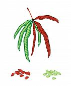 picture of tamarind  - Vegetable and Herb Vector Illustration of Pods and Seed of White Popinac Wild Tamarind Leadtree and Leucaena Glauca Benth - JPG