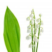 stock photo of lilly  - flowers and leaves of lilly of the valley   isolated on white background - JPG