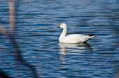 stock photo of snow goose  - White Snow Goose Swimming in Blue Water