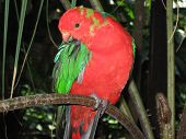 foto of king parrot  - At the Cairns Rainforest Dome - JPG