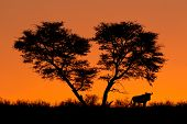 African Acacia tree and a wildebeest silhouetted against a red sunset