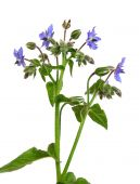 picture of borage  - Colorful and crisp image of borage  - JPG