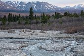foto of caribou  - A caribou scratches in Alaska - JPG