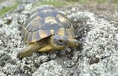 picture of spurs  - Spur thighed turtle  - JPG