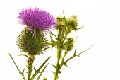 stock photo of cardo  - Milk thistle flower isolated on white - JPG