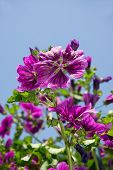 pic of rose sharon  - blooming mallow blossom in spring against blue sky - JPG