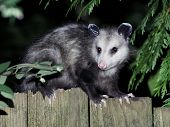 picture of possum  - A Virginia Opossum on a fence at night - JPG