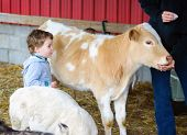 foto of calves  - A little boy watches a person feed a calf at a farm - JPG