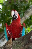picture of green-winged macaw  - Red and green macaw in amazon rainforest