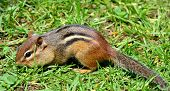 picture of chipmunks  - Closeup of a chipmunk on grass looking for food - JPG