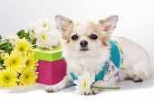 picture of chiwawa  - Beautiful Chihuahua dog with gift box and flowers on white background - JPG