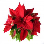 picture of poinsettias  - Red and green poinsettia plant for Christmas isolated on white background - JPG