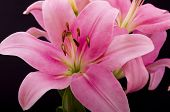 picture of lillies  - Image of an Oriental Pink Lilly - JPG