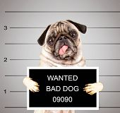 picture of mug shot  - a dog in front of a convict poster getting a mug shot taken - JPG