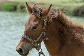 stock photo of horse face  - Closeup brown horses Thailand faces behind the canal - JPG