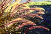 picture of fountain grass  - Fountain grass long stems beautiful fluffy brush in the summer garden.