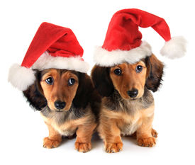 stock photo of puppy christmas  - Christmas dachshund puppies wearing Santa hats - JPG